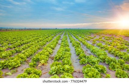 Lettuce field at dramatic sunset