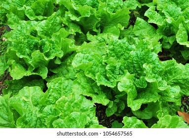 Lettuce field green background