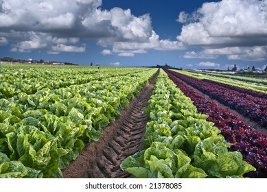 lettuce field in the Sharon region, Israel