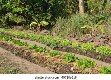 Lettuce field in summer