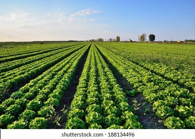 Lettuce field at sunset in italy