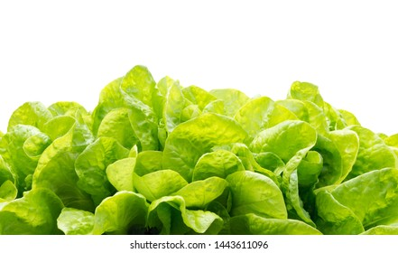 Lettuce green leaf salad isolated on white. Lettuce as a nature background texture. lettuce leaves.