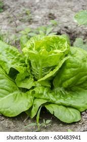 lettuce green salad