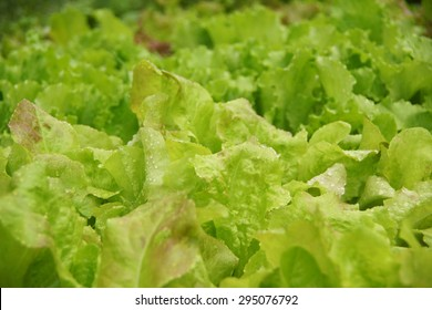 Lettuce growing in the garden. Close-up.