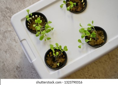 Lettuce growing in hydroponic container at home, selective focus