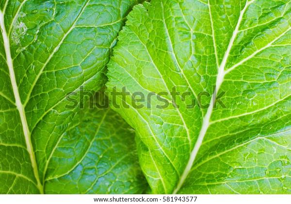 Lettuce grown in the garden