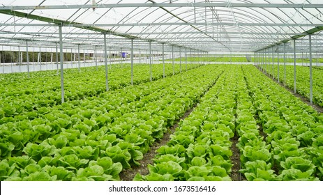 lettuce grown in the greenhouse in the greenhouse