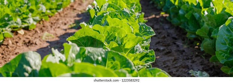 Lettuce grows in the open ground in agricultural field, close up banner