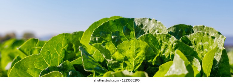 Lettuce grows in the open ground in agricultural field, close up banner. Lactuca sativa green leaves, closeup. Leaf Lettuce in garden bed