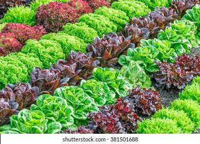 Lettuce harvest: a rainbow of colorful (colourful) fields of summer crops (lettuce plants), including mixed green, red, purple varieties, grow in rows in Salinas Valley of Central California.