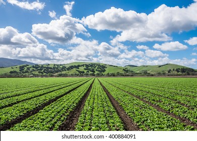 "Lettuce harvest.  Rows of lettuce crops with foothills in the fields of Salinas Valley of central California. This area is a hub of agriculture industry and is known as the ""salad bowl"" of the world."