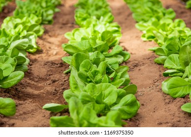 Lettuce heads growing in garden, european variety called butter head