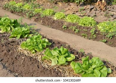 Lettuce heads in rows on a field