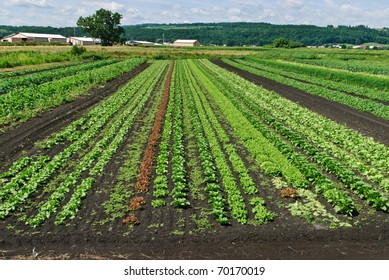 Lettuce and Herbs Growing in Large Farm  Field