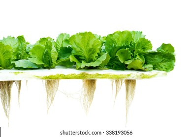 Lettuce hydroponic