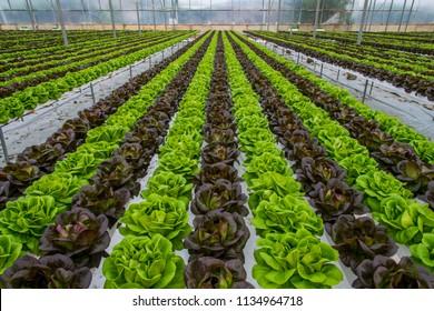 Lettuce hydroponic crops in greenhouse