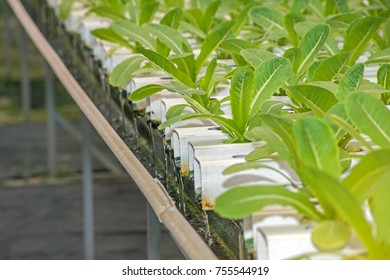lettuce in the hydroponic farm and plant in the greenhouse