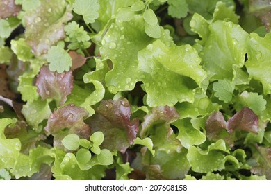 The Lettuce In The Kitchen Garden
