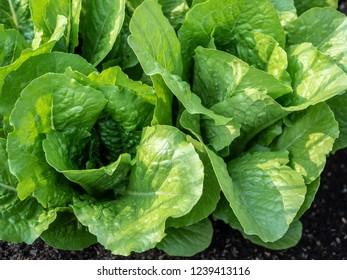 Lettuce (Lactuca sativa) in the garden