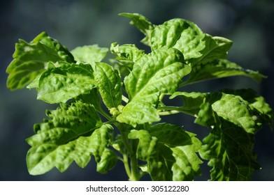 Lettuce leaf basil grows on balcony