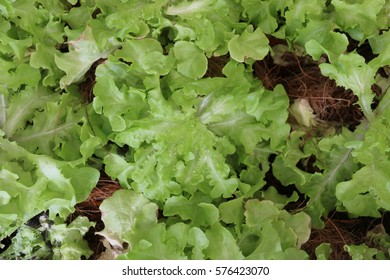 Lettuce, a leaf vegetable often used for salads