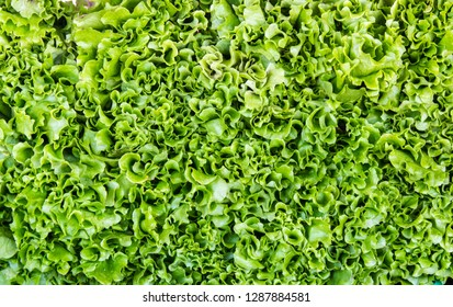 Lettuce leaves texture