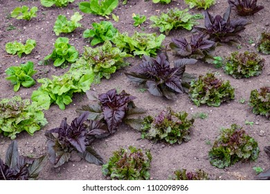 Lettuce, mixed heirloom varieties growing together including speckles and red deer tongue.