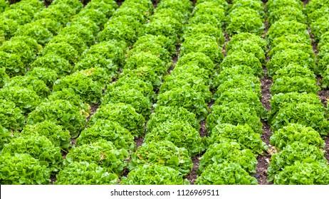 Lettuce on a field