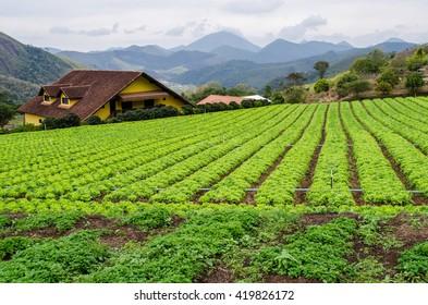 Lettuce plantation in the green ring in the mountains near Rio de Janeiro, Brazil