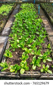 Lettuce and red cabbage plants on a vegetable garden ground