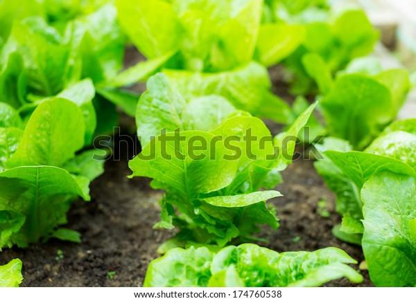 Lettuce seedlings in field