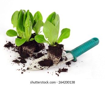 lettuce seedlings on shovel isolated on white background