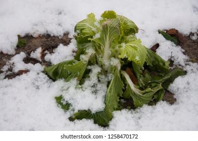 lettuce sudden snow