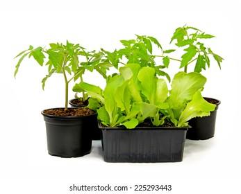 Lettuce & Tomate