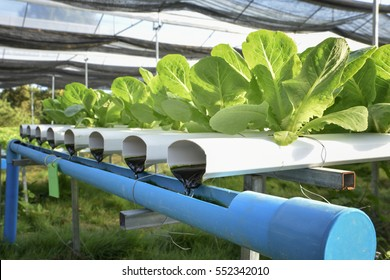 Lettuce vegetables in hydroponic farm with daylight