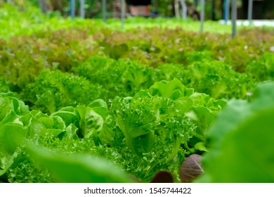 Lettuce Vegetables in Hydroponics Organic Agriculture Farm