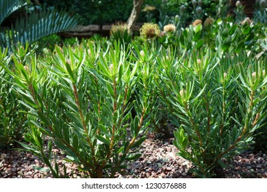 Leucadendron Green plant