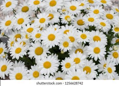 Leucanthemum Big Mountaint, White yellow flowers, green leaves