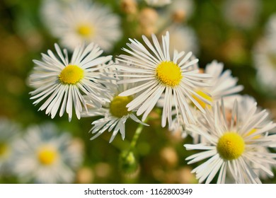 Leucanthemum is a genus of flowering plants in the aster family, Asteraceae. It is mainly distributed in southern and central Europe.