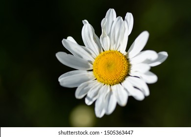 Leucanthemum maximum also called Shasta Daisy or Max chrysanthemum, the flower head consists of many snow white petals and a bright yellow center
