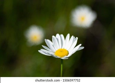 Leucanthemum maximum also called Shasta Daisy or Max chrysanthemum, the flower head consists of many snow white petals and a bright yellow center densely packed with florets