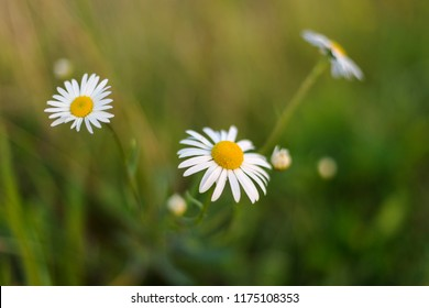 Leucanthemum vulgare. Leucanthemum vulgare, with diffused background of spring buttercups, clover and meadow grass. Beautiful white daisy growing in a summer garden.(Leucanthemum vulgare)