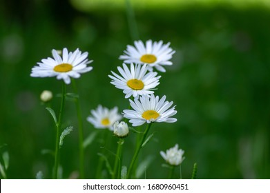Leucanthemum vulgare meadows wild flower with white petals and yellow center in bloom, flowering beautiful plant, green background