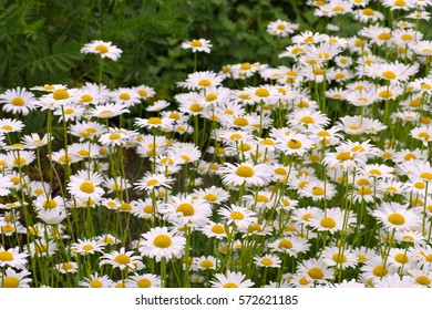 Leucanthemum vulgare, the ox-eye daisy in garden
