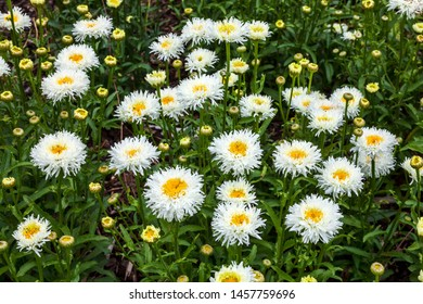 Leucanthemum x superbum 'Engelina' a spring summer flowering plant commonly known as Shasta daisy