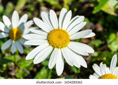 Leucanthemum x superbum 'Snowcap'  a white herbaceous summer autumn perennial flower plant commonly known as Shasta Daisy