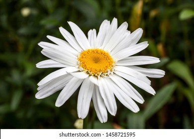 Leucanthemum x superbum 'Wirral Supreme' a spring summer flowering plant commonly known as Shasta daisy