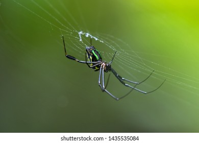 Leucauge spider, long-jawed orb weaver with green color on its web with blurred green background