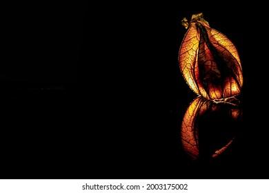 Leuchtende Physalis Frucht im schwarzen Hintergrund - Shutterstock ID 2003175002