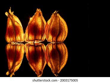 Leuchtende Physalis Frucht im schwarzen Hintergrund - Shutterstock ID 2003175005
